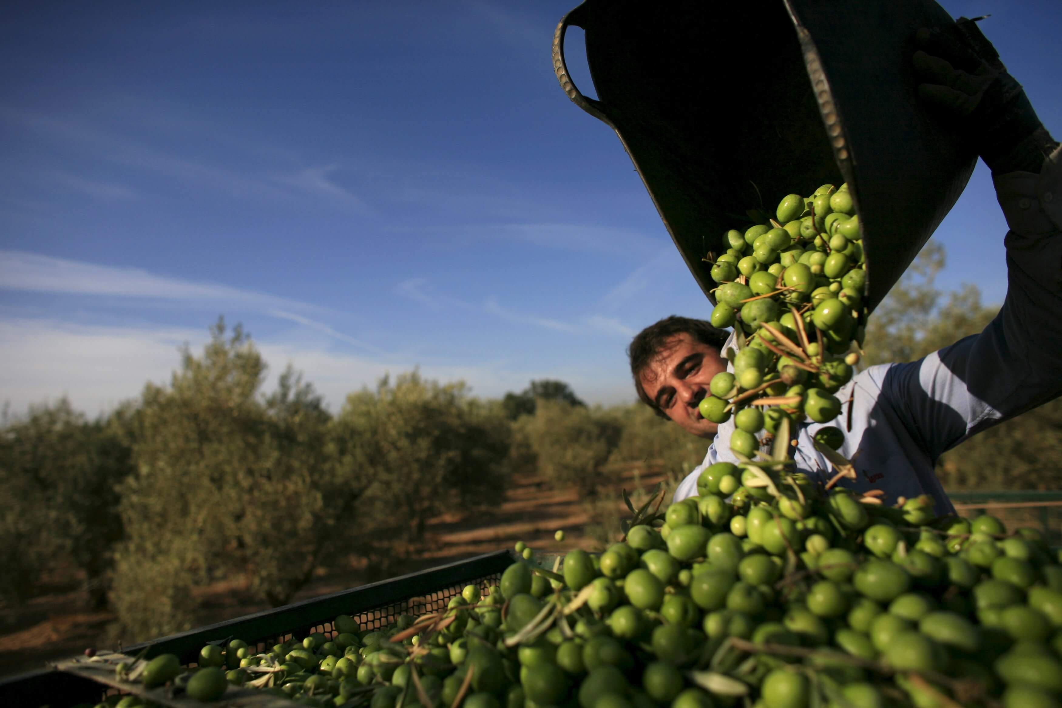 OLIVE CULTIVATION IN TURKEY